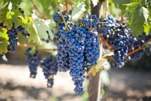 Grapes for Wine Tasting Newsletter